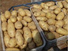 尤金885土豆